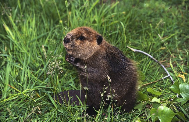 With Mo-vember now over it is time to embrace Decem-Beaver