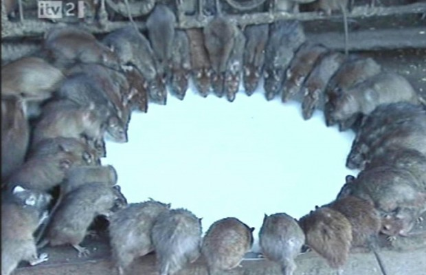 60 Rats Equals A Free Cell Phone