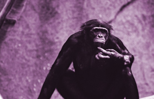 The Chimpanzee is addicted to porn