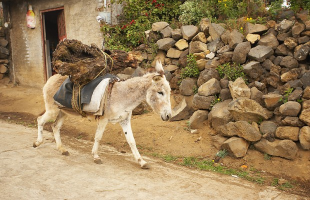 Using a getaway donkey for a robbery is a bad idea