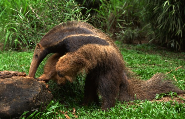 Illegal anteater meat found in scuttled Chinese ship