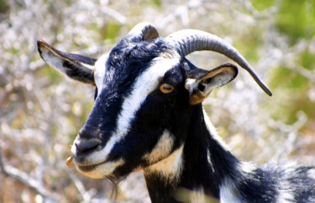 Brazilian Man to wed Goat