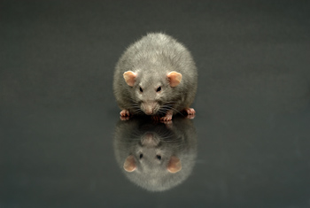 Free Fancy Rats and other stuff on Craigslist