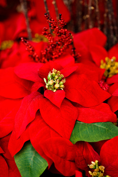 The Mob busted for selling overpriced Poinsettias