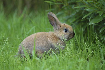 Hare In The Ear